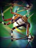 Gelbe Spinne (Argiope bruennichi) und Kaktus Lizenzfreies Stockfoto