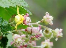 Gelbe Spinne auf Blumen der Korinthe Lizenzfreie Stockfotografie