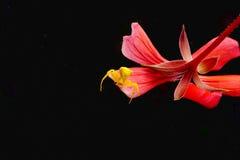 Gelbe Spinne auf einem Scharlachrot Blumenblumenblatt Stockbild