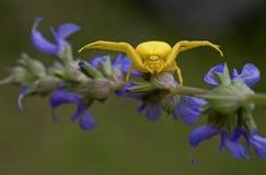 Gelbe Spinne auf purpurroter Blume (Misumena vatia) Lizenzfreie Stockfotos