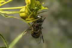 Gelbe Spinne essen Fliege auf seinem Abendtische lizenzfreie stockbilder
