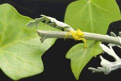 Gelbe Spinne und Efeu Lizenzfreie Stockfotografie
