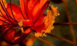 Gelbe Spinnen-Jagden auf mexikanischem Paradiesvogel Blume stockfotos