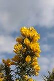 Gelbe Stechginsterblumen lizenzfreie stockfotos