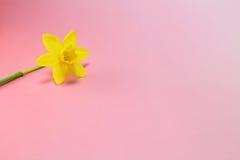 Gelbe Stimmung der Narzisse im Frühjahr Stockbilder