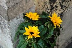 Gelbe Straßenblumen Lizenzfreie Stockfotos