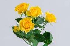 Gelbe Strauchrose auf grauem Hintergrund Stockbilder