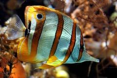 Gelbe Streifenfische Stockbild
