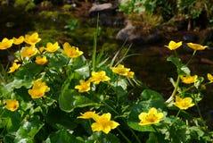 Gelbe Sumpfringelblume an wenigem Bach stockfotografie
