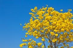 Gelbe tabebuia Blume stockfotografie