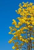 Gelbe tabebuia Blume lizenzfreie stockbilder