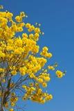 Gelbe tabebuia Blume lizenzfreies stockbild