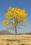 Gelbe tabebuia Blume stockfoto