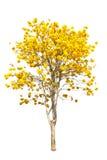 Gelbe tabebuia Blume stockbild