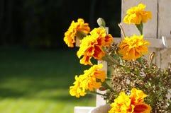 Gelbe Tagetes Blumen lizenzfreie stockfotos
