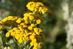Gelbe Tansyblumen, gemeiner Tansy, bitterer Knopf, schüchtern die bitteren oder goldenen Knöpfe in der grünen Sommerwiese ein wil Stockfoto