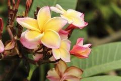 Gelbe thailändische Tempel Blume Stockbilder