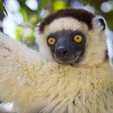 Gelbe tiefe Augen von eines netten weißen Verrauxs Sifaka-Porträt in Madagaskar Lizenzfreies Stockbild