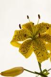 Gelbe Tigerlilie Lizenzfreie Stockfotos