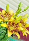 Gelbe Tigerlilien Lizenzfreie Stockbilder