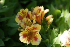 Gelbe Tigerlilien Lizenzfreie Stockfotografie
