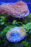Gelbe Tipp-Fackel-Koralle lizenzfreie stockbilder