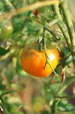 Gelbe Tomate Lizenzfreie Stockfotos