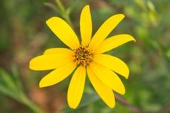 Gelbe topinambur Blumen Lizenzfreies Stockfoto