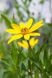 Gelbe topinambur Blumen Lizenzfreies Stockbild