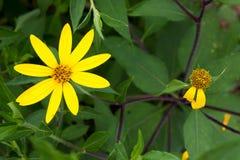 Gelbe topinambur Blumen Stockfotos