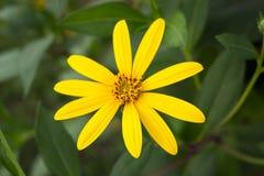 Gelbe topinambur Blumen Gelbe Blumen Stockbilder