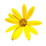 Gelbe topinambur Blumen Gelbe topinambur Blumen Stockbild