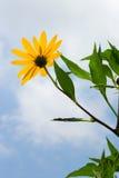 Gelbe topinambur Blumen Gelbe topinambur Blumen Stockfotografie