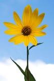 Gelbe topinambur Blumen Gelbe topinambur Blumen Stockfoto