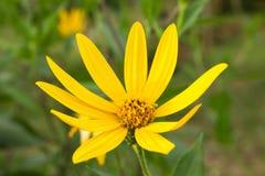 Gelbe topinambur Blumen Gelbe topinambur Blumen Stockfotos