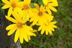 Gelbe topinambur Blumen Gelbe topinambur Blumen Lizenzfreies Stockfoto