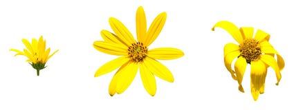 Gelbe topinambur Blumen Gelbe topinambur Blumen mit Isolat Lizenzfreie Stockfotografie