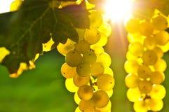 Gelbe Trauben stockfotografie