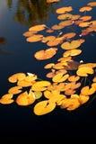 Gelbe Travertine auf der Oberfläche von einem Teich Stockfotos