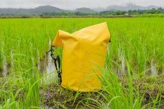 Gelbe trockene Tasche setzte an nasses Ackerland des ungeschälten Reises Stockfotos
