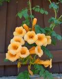 Gelbe Trompeten-Kriechpflanzenrebe Lizenzfreies Stockbild