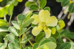 Gelbe tropische Blume Stockfotografie