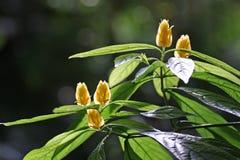 Gelbe tropische Blumenblüte in der Sonne Stockfotografie