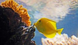 Gelbe tropische Fische Lizenzfreie Stockfotos