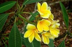 Gelbe tropische Plumeriablumen in der Blüte Lizenzfreies Stockfoto