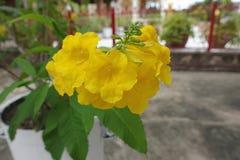 Gelbe trumpetbush Blume oder Tecoma-stans Stockfotos