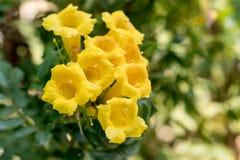 Gelbe trumpetbush Blumen mit Grün verlässt Hintergrund gelbe Glocken oder gelbe Ältestanlagen-tecoma stans Stockbild
