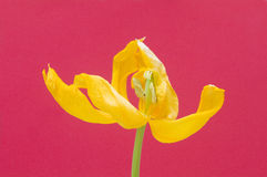 Gelbe Tulip Cerise Background Stockbild