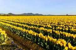 Gelbe Tulip Field Lizenzfreies Stockbild