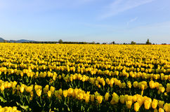 Gelbe Tulip Field Lizenzfreie Stockfotos